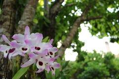 Orchidea w bielu i menchiach barwi z zielonymi liśćmi w tle fotografia royalty free