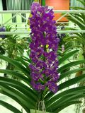 Orchidea w garnku zdjęcie stock