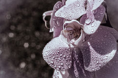 Orchidea w kroplach deszcz Kwitnie i swój zaświecający wnętrze, piękno i makro-, Obraz Stock