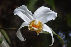Orchidea w lesie Zdjęcia Royalty Free