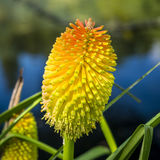 Orchidea w Nowa Zelandia Fotografia Royalty Free