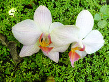 Orchidea w ogródzie Zdjęcia Royalty Free