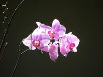 Orchidea w ostrości Obraz Royalty Free