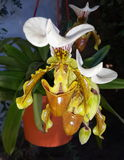 Orchidea. Withe orchidea flower Royalty Free Stock Photography