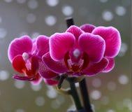 Orchidea wzrastał Fotografia Royalty Free