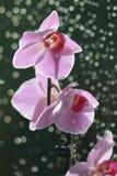 Orchidea wzrastał Obrazy Stock