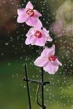 Orchidea wzrastał Obrazy Royalty Free