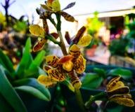 Orchidea z ciężkimi płatkami żółty kolor i kurenda ześrodkowywamy, z brown punktami w formie tygrysa fotografia royalty free