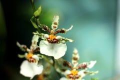 Orchidea z zielonym tłem Obrazy Royalty Free