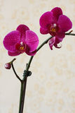 Orchidea - zmrok menchia. Zdjęcia Royalty Free