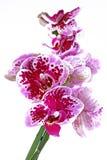 Orchideae púrpuras de la orquídea en fondo blanco aislado Foto de archivo libre de regalías