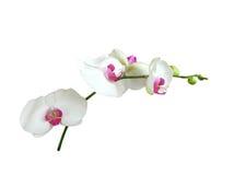 Orchideeën Stock Foto's