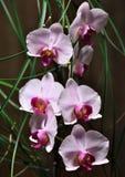 Orchideeën Stock Fotografie