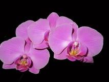 orchideeën Royalty-vrije Stock Fotografie