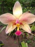 orchideeën Stock Foto