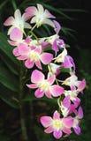 Orchideeën Royalty-vrije Stock Afbeeldingen