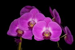 Orchideeën bij nacht. Royalty-vrije Stock Foto