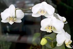 Orchideeën in bloei Stock Afbeeldingen