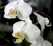 Orchideeën in bloei Stock Foto's
