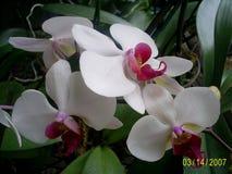 Orchideeën in bloei Stock Fotografie