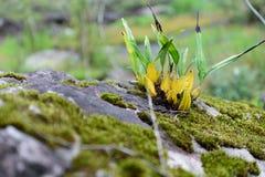 Orchideeën die op rotsen met mos groeien Stock Foto