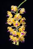 Orchideeën in oosterse vaas op zwarte Stock Foto's
