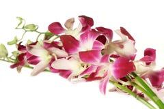 Orchideeën op wit stock afbeeldingen