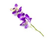 Orchideeën op Witte Achtergrond Royalty-vrije Stock Foto's
