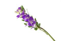 Orchideeën op Witte Achtergrond Royalty-vrije Stock Foto