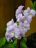 Orchideeën (SP; Orchidaea) Royalty-vrije Stock Foto