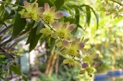 Orchideeën (SP; Orchidaea) Stock Fotografie
