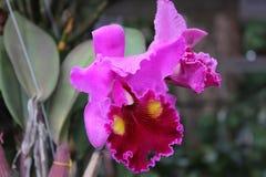 Orchideeën in Thailand royalty-vrije stock foto