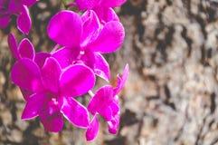 Orchideeën Thailand Stock Afbeeldingen
