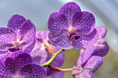 Orchideeën voor modersdag Royalty-vrije Stock Afbeeldingen