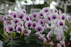 Orchideeënachtergrond Stock Foto