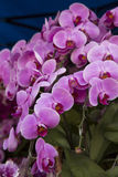 Orchideeënbloesem Stock Foto