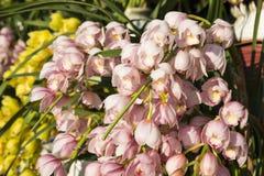 Orchideeënbloesem Stock Afbeeldingen