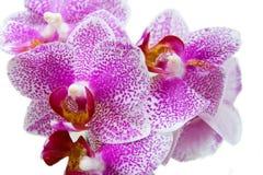 Orchidee über Weiß Lizenzfreies Stockfoto
