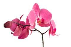 Orchidee über Weiß Lizenzfreie Stockbilder
