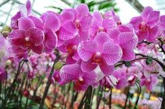 Orchidee 005 Royalty-vrije Stock Afbeelding