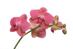 Orchidee Stock Photography
