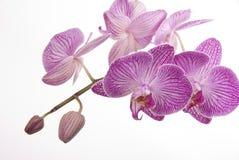 Orchidee Royalty-vrije Stock Fotografie