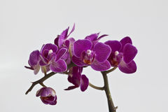 orchidee Obraz Stock
