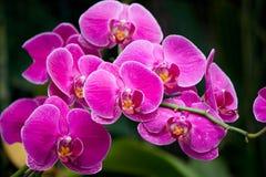 Orchidee Immagine Stock