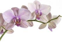 Orchidee Lizenzfreies Stockfoto
