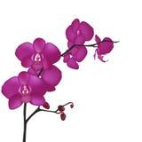 Orchidee lizenzfreie abbildung