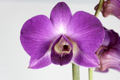 Orchidee photographie stock
