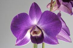 Orchidee+ image stock