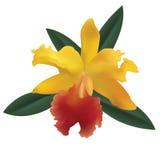 Orchidee. Stock Afbeelding