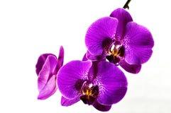 Orchidee 2 Royalty-vrije Stock Afbeelding